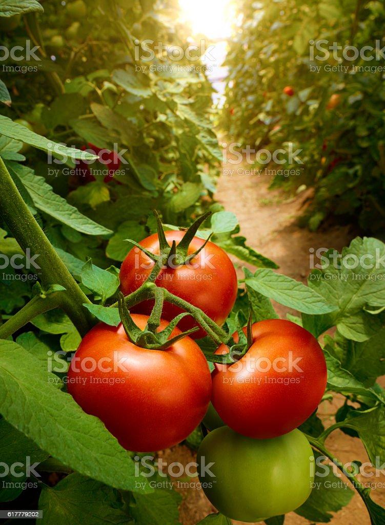 Growing Tomatoes stock photo