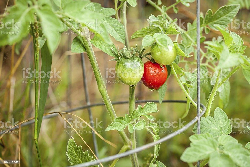 Growing Tomatos royalty-free stock photo