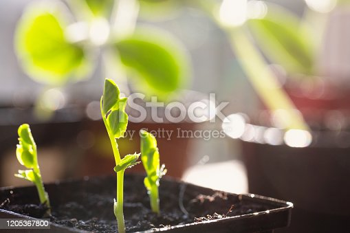 Vegetable seedlings in black pots, they are pea sprouts, in the background pots with sqash seedlings, seedlings covered with drops of water