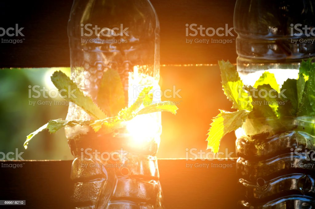 Growing vegetables (parsley or culantro) in used plastic bottles, Hydroponic garden and reuse recycle eco concept stock photo