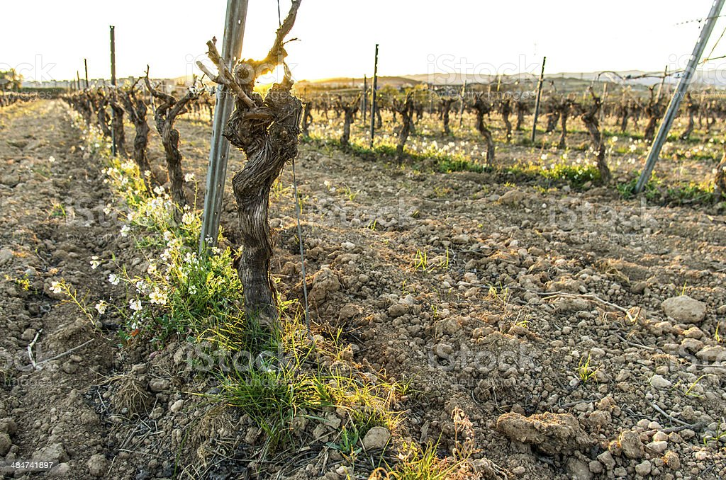 growing vine at sunset horizontal in spring royalty-free stock photo