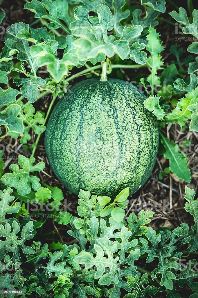 Growing watermelon, outdoor photo libre de droits