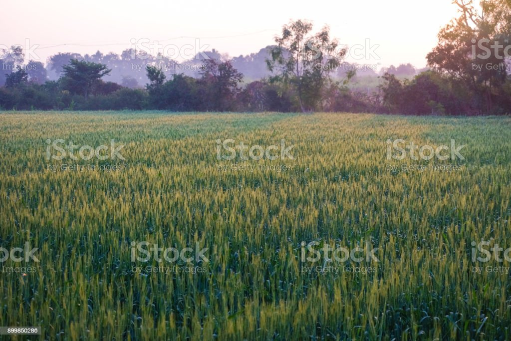 Growing wheat farm field plots stock photo