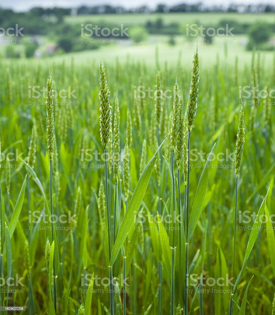 Growing Wheat on Gently Rolling Fields stock photo