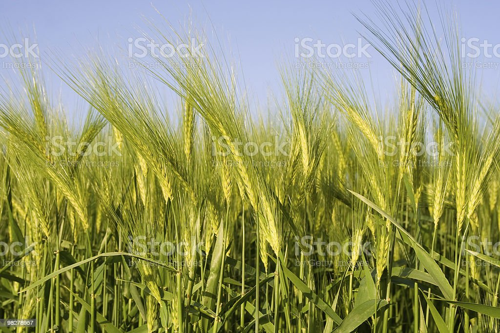 Growing wheat royalty-free stock photo