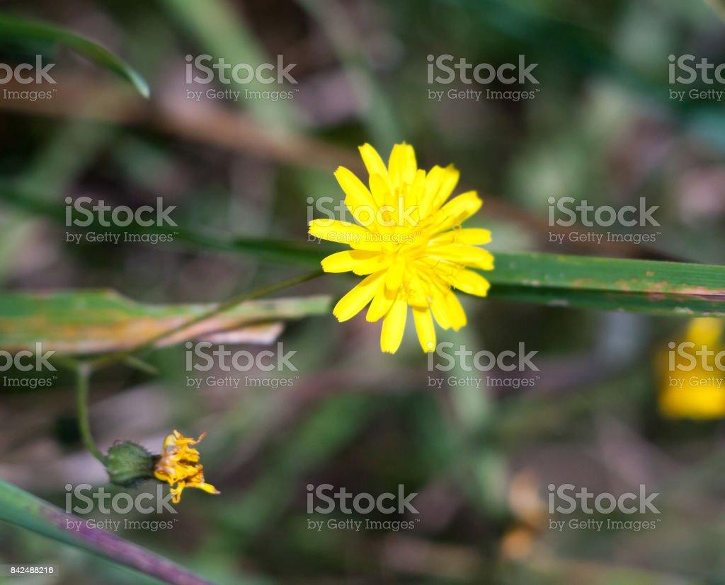 growing wild Nipplewort yellow Lapsana communis green leaves stock photo
