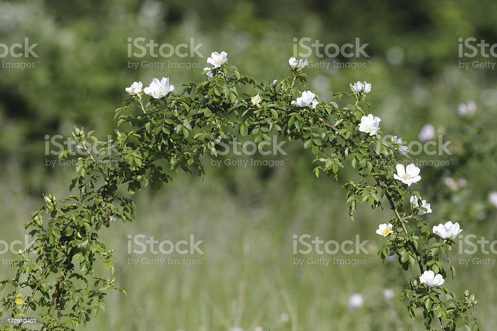 Beautiful natural arch wild field roses Rosa arvensis stock photo