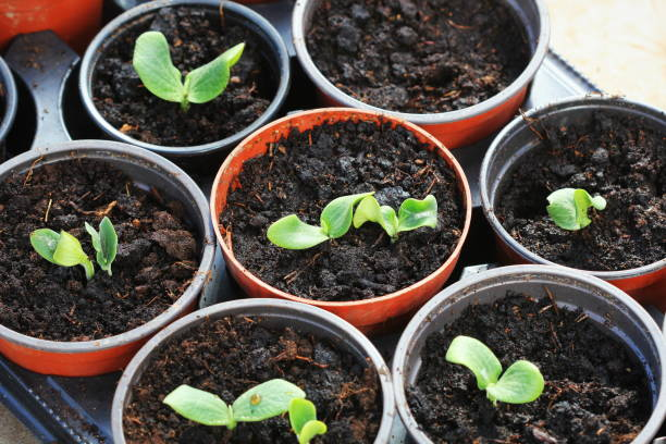 Growing young and green pumpkin seedlings in pots. Gardening background stock photo