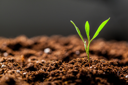 Growing Young Green Seedling Sprout
