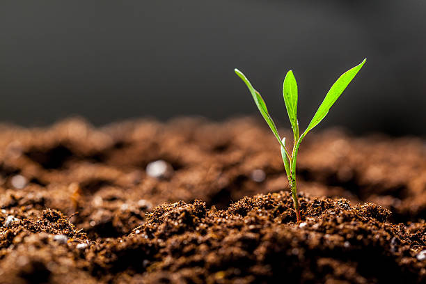 Growing Young Green Seedling Sprout stock photo