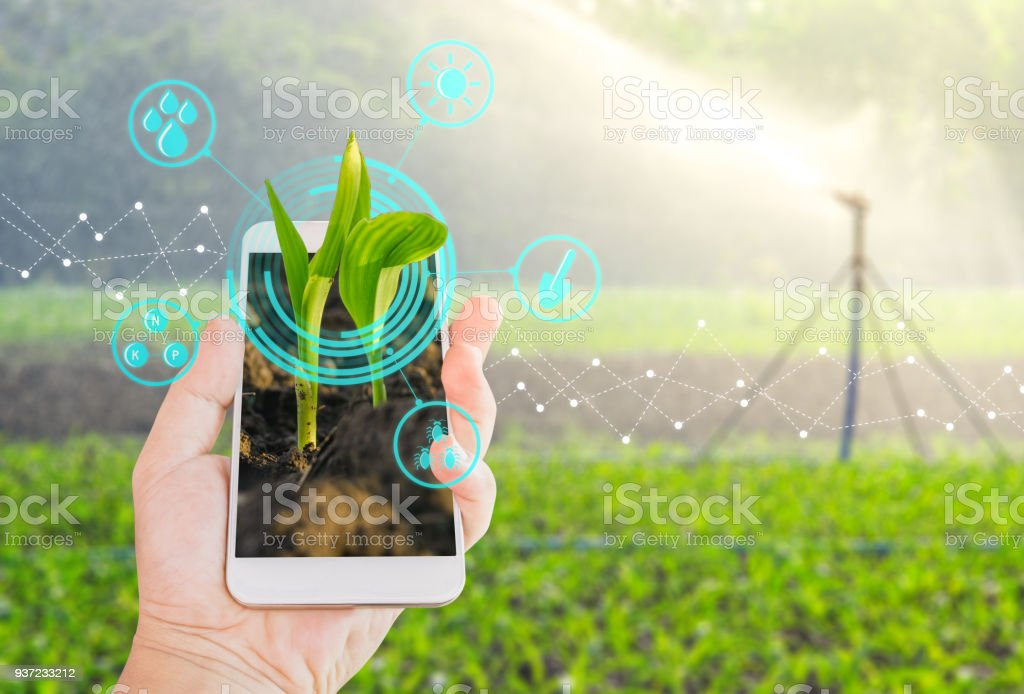 Growing young maize seedling in a mobile smartphone on hand with modern agriculture digital technology concepts stock photo