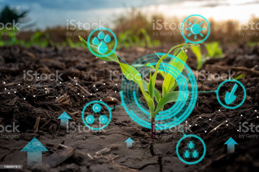 Growing young maize seedling in cultivated agricultural farm field with modern technology concepts - Foto stock royalty-free di Agricoltura