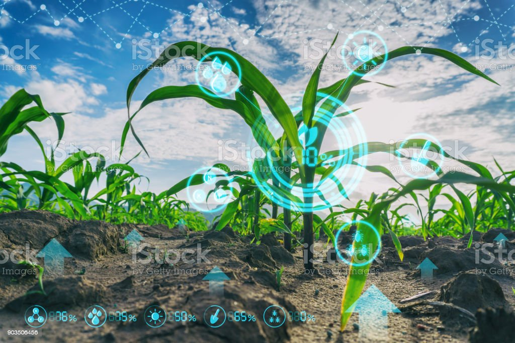 Growing young maize seedling in cultivated agricultural farm field with modern technology concepts Growing young maize seedling in cultivated agricultural farm field with modern technology concepts Agriculture Stock Photo