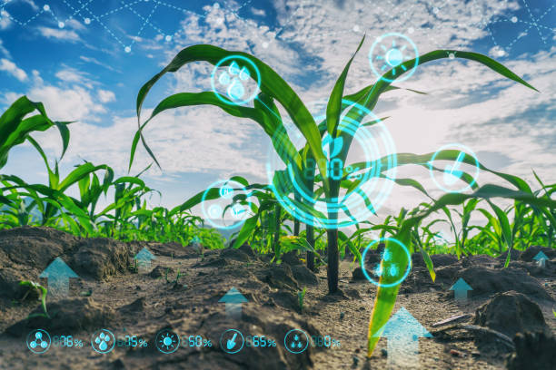 Growing young maize seedling in cultivated agricultural farm field with modern technology concepts stock photo