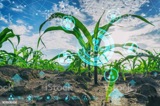 Growing Young Maize Seedling In Cultivated Agricultural Farm Field With Modern Technology Concepts Stock Photo - Download Image Now