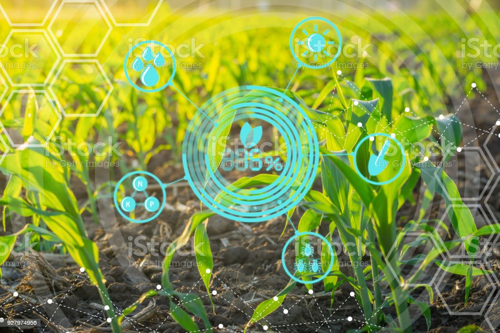 Growing Young Maize Seedling In Cultivated Agricultural Farm Field With Modern Technology Concepts Royalty Free