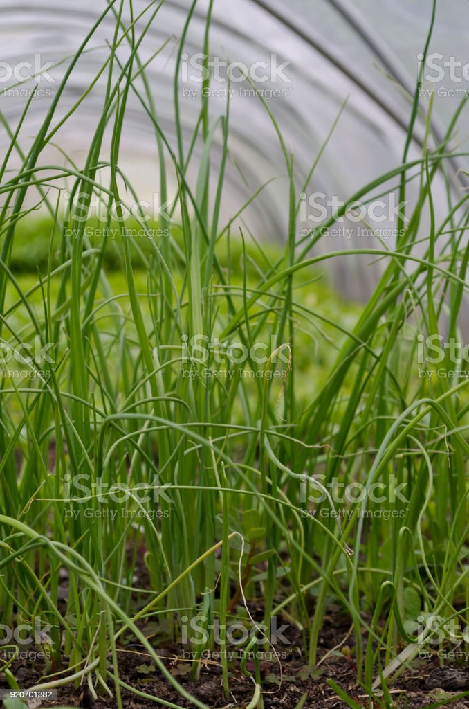 Growing young onion in the fields in the summer stock photo