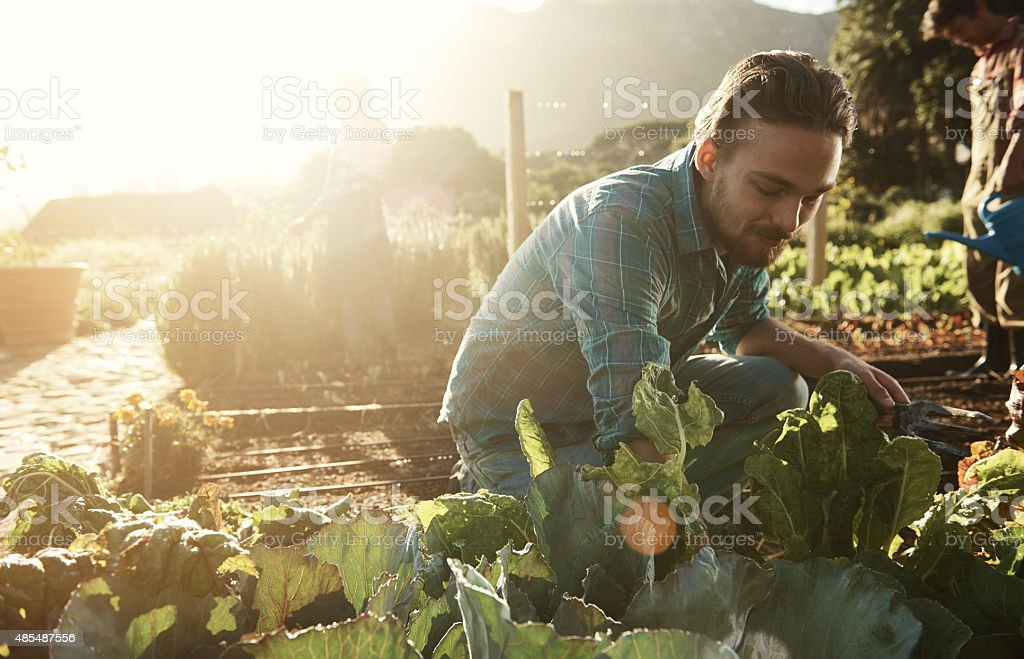 Shot of a young man working in an organic vegetable garden plot in...