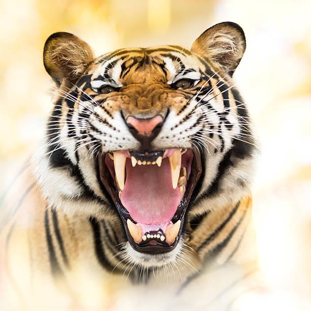 Grunhido Tigre-da-Sibéria - foto de acervo