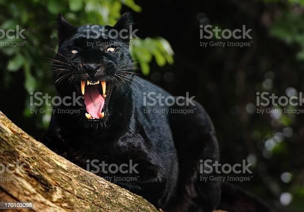 Growling black panther picture id170103098?b=1&k=6&m=170103098&s=612x612&h=fjl0onfg96daxbohx1h0ecnaxheov9eocblje3wgggc=