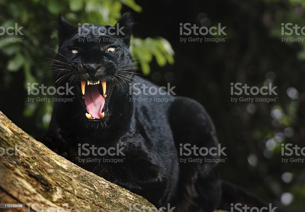 growling black panther stock photo