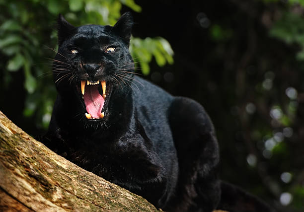 growling black panther​​​ foto