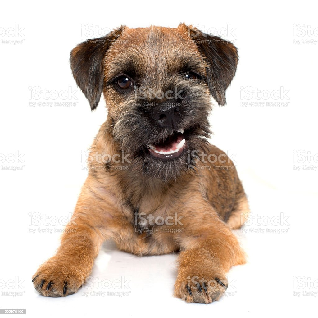 growling border terrier stock photo