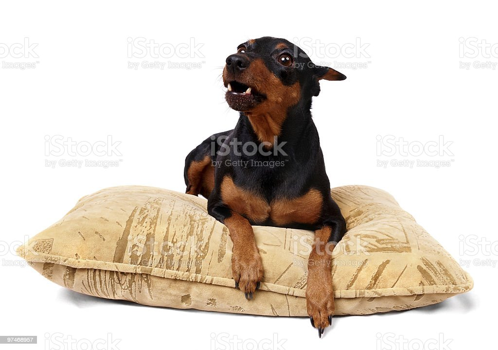 Growling dog on the pillow royalty-free stock photo