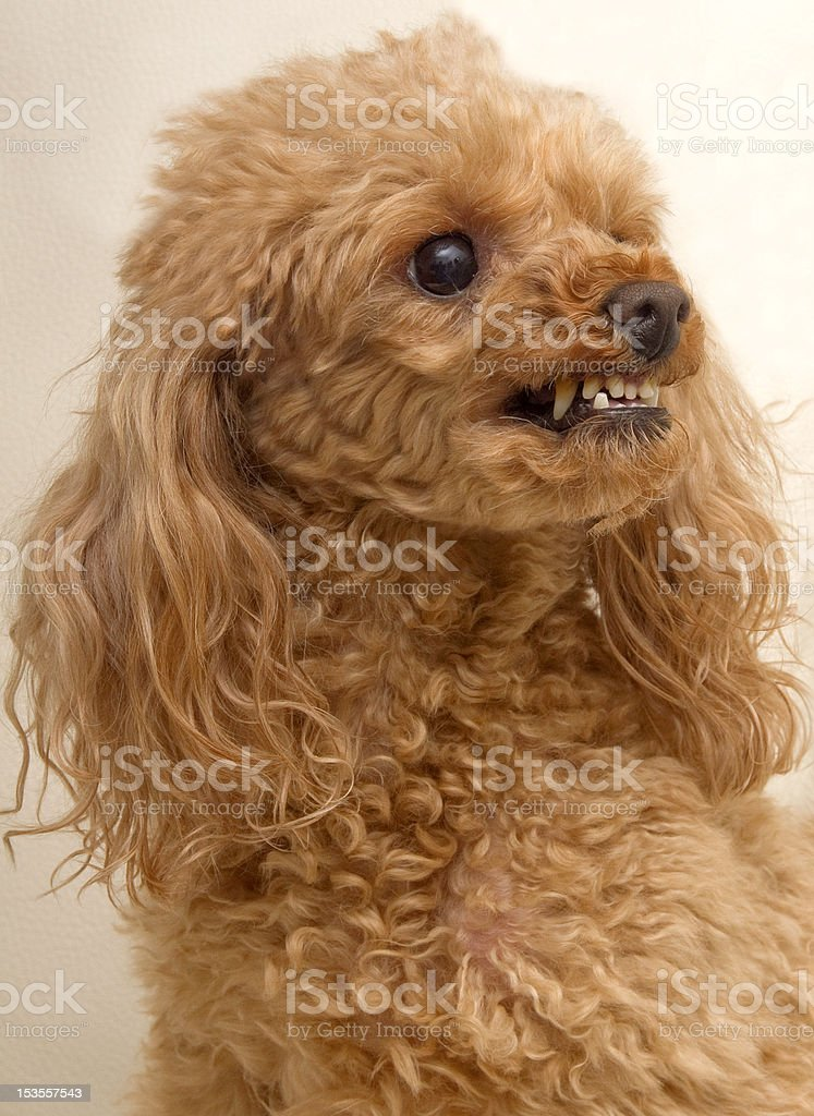 Growling Dog royalty-free stock photo
