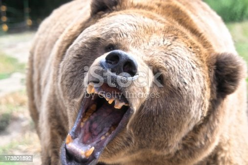 Close-up of a brown grizzly bear roaring.