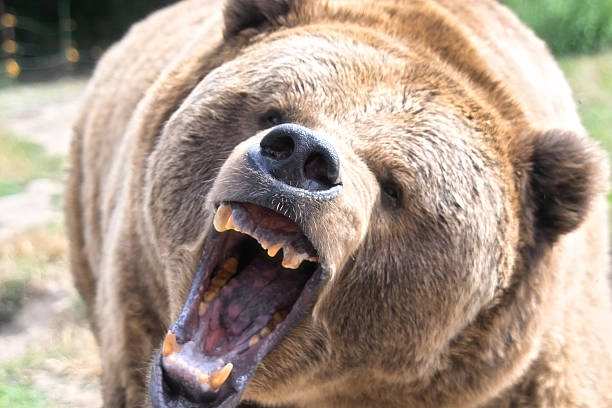 Growling Grizzly Bear​​​ foto