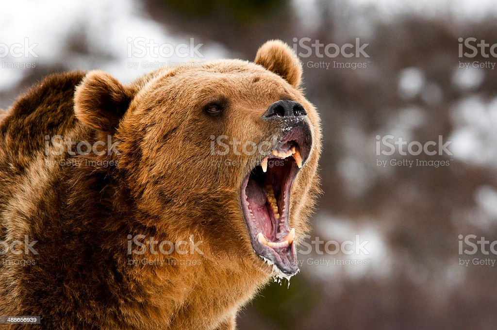 Growling Grizzly Bear – Foto