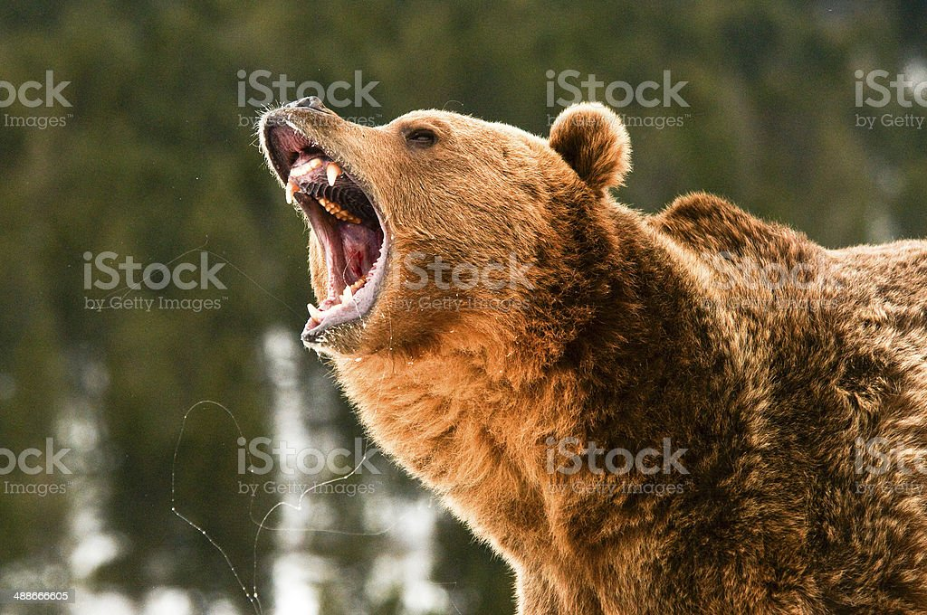 Growling Grizzly Bear - foto de stock