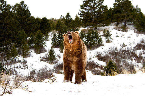 Growling Grizzly stock photo