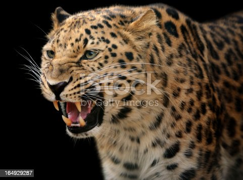 Close-up of a leopard showing its teeth. Isolated on clean black background.