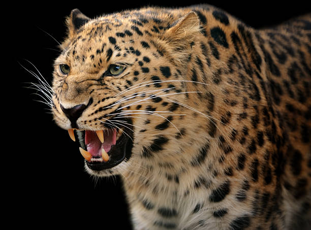 growling leopard stock photo