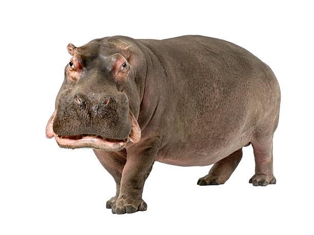 Grown hippopotamus aged 30 years on a white background stock photo