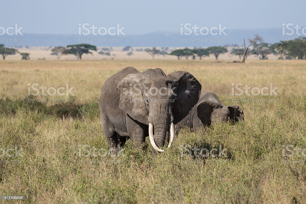 Grown up male elephant protecting its herd stock photo