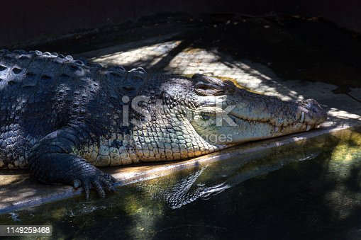 istock A grown-up crocodile in Palawan close-up 1149259468