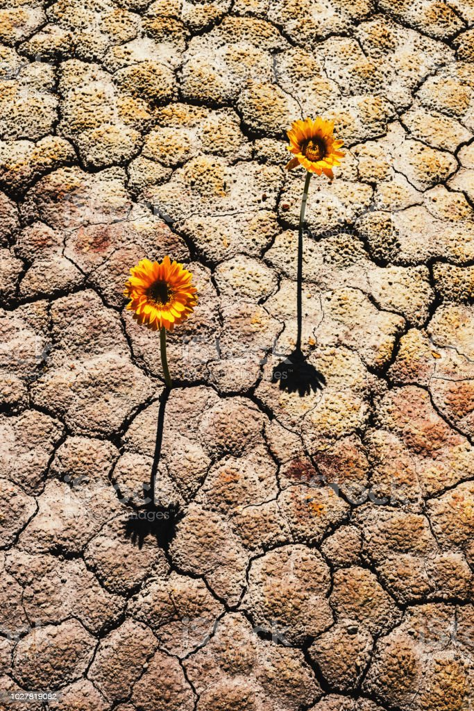 A plant grows from parched soil.