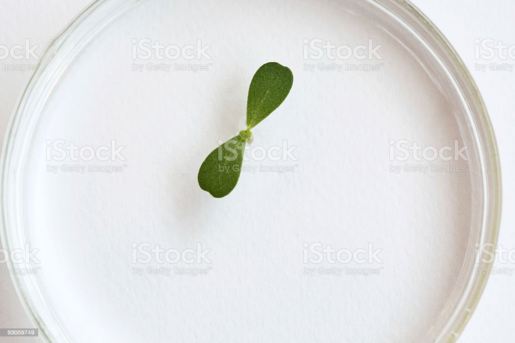 Growth in Petri Dish royalty-free stock photo