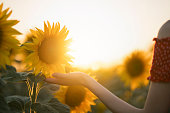 Rear view of a unrecognizable young woman enjoying with beautiful sunflowers.