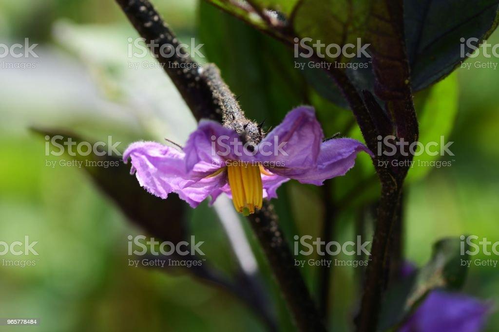 Groei van aubergine - Royalty-free Aubergine Stockfoto