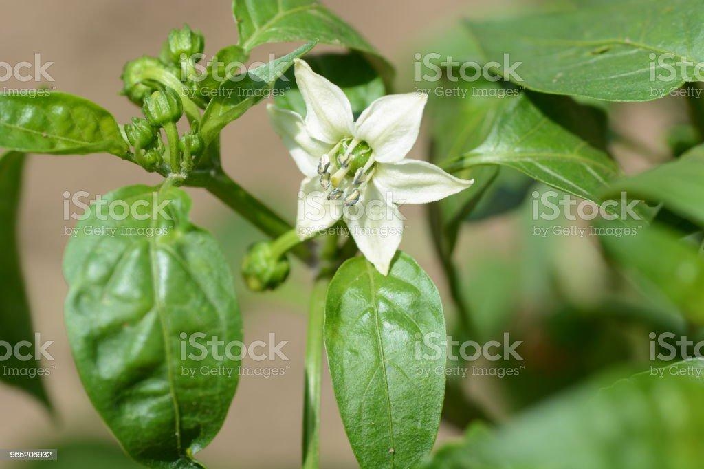 Growth of green peppers zbiór zdjęć royalty-free