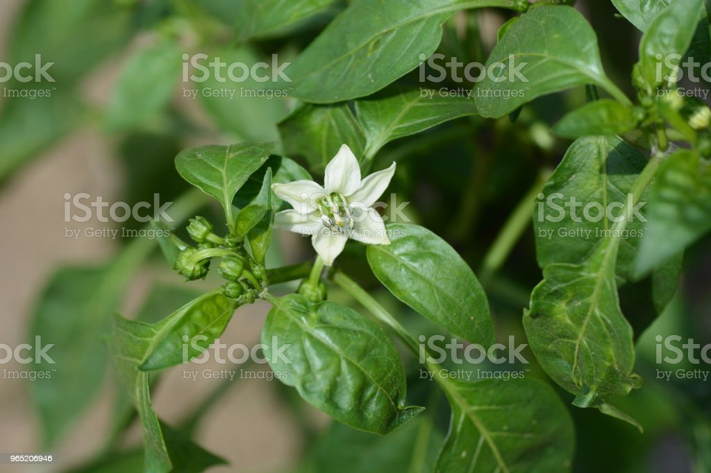 Growth of green peppers royalty-free stock photo