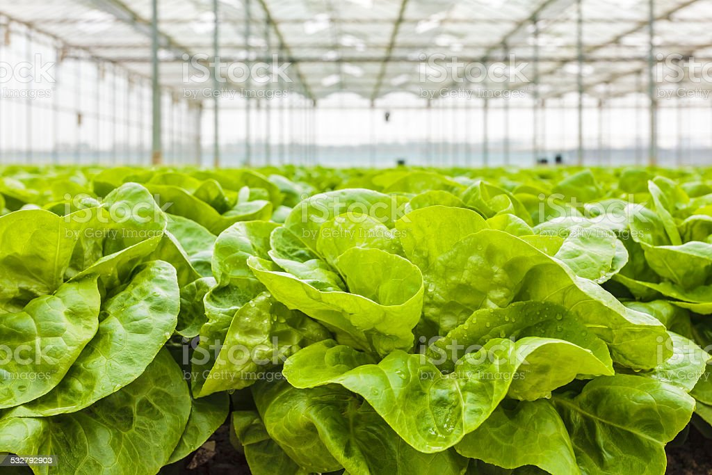 Growth of lettuce inside a greenhouse stock photo