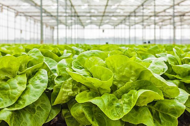 growth of lettuce inside a greenhouse - glass house stockfoto's en -beelden