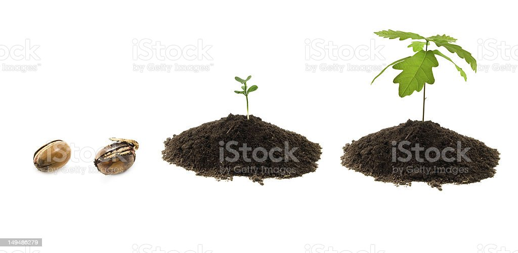 growth of oak stock photo