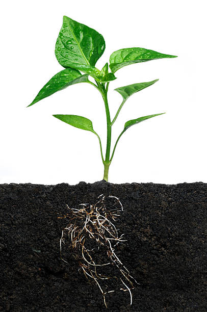 Growth Seedling with roots. ancestry stock pictures, royalty-free photos & images