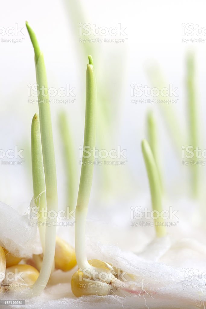 Growth - Seed Sprouting royalty-free stock photo